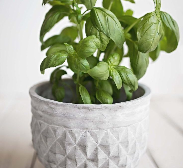 Basil in a white pot on a white wooden surface