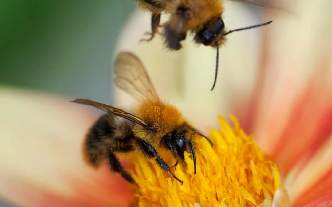 Why honeybees are so important